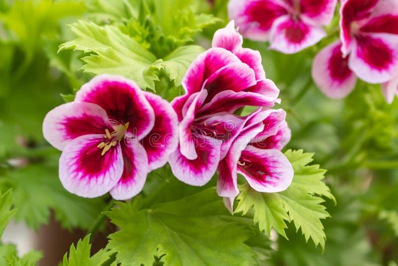 Pelargonium 'Angel eyes', Geranium Angel's Perfume, Pink - white Geranium. as a background stock image