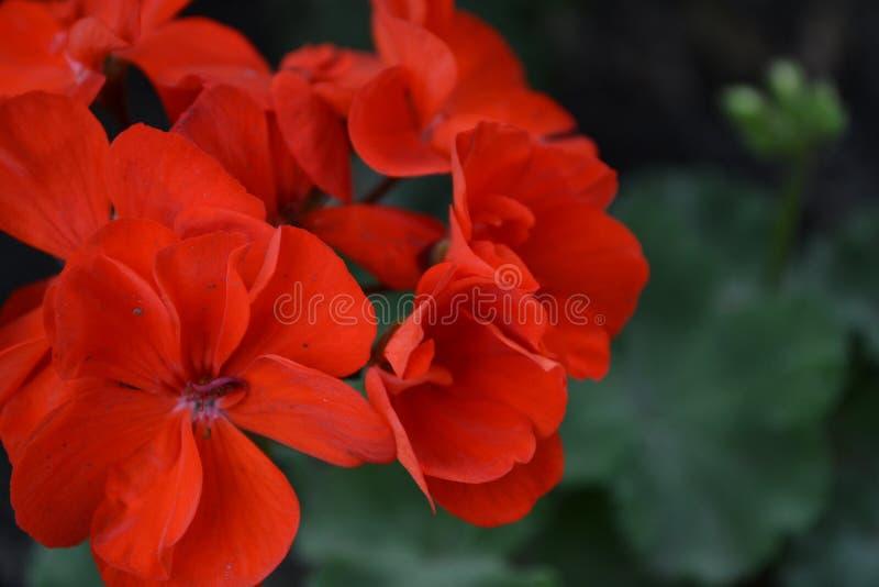 Pelargonium arriate Plantas de jard?n Plantas de la casa foto de archivo