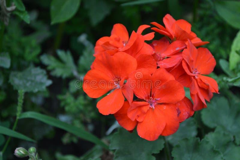 Pelargonium arriate Plantas de jard?n Plantas de la casa imágenes de archivo libres de regalías