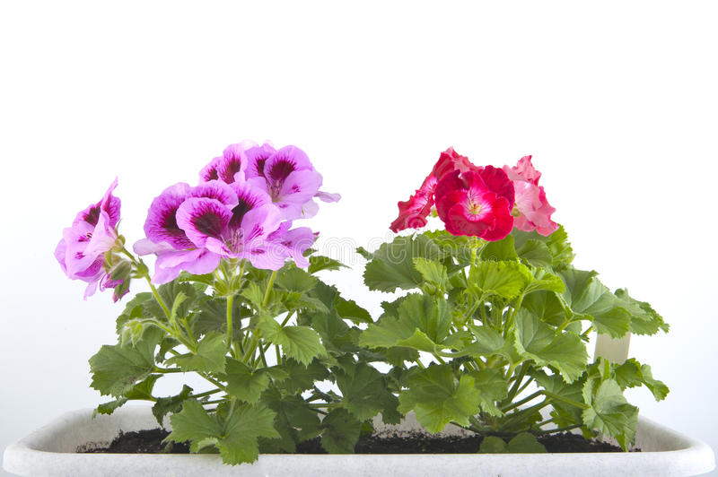 Pelargonium of the balcony pots closeup. Studio photography on a white background stock photo