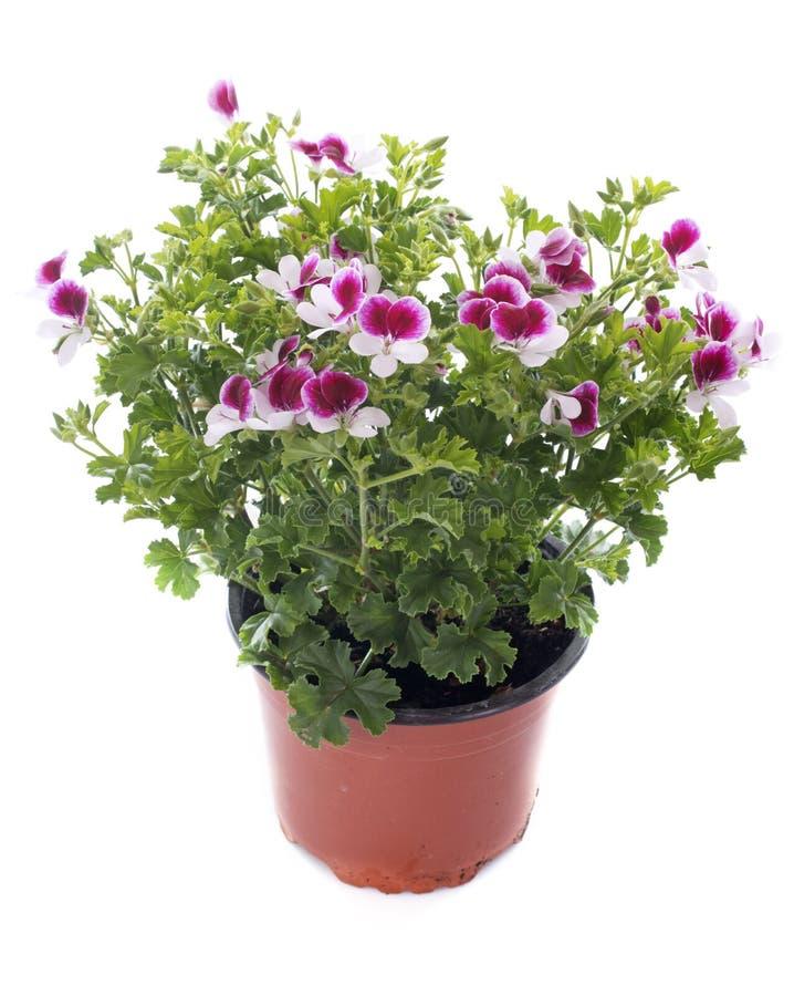 Pelargonium crispum obrazy stock