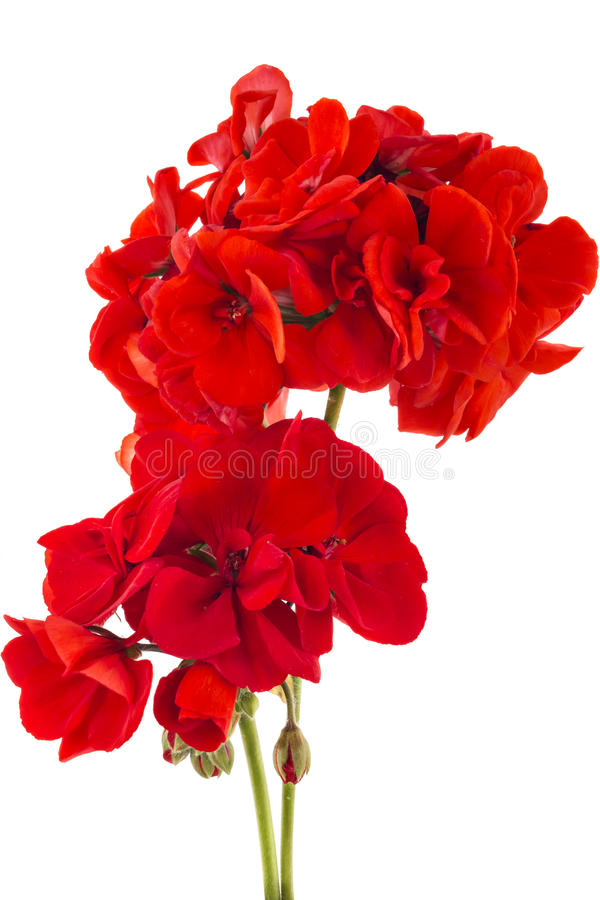 Pelargonium del geranio imagen de archivo libre de regalías