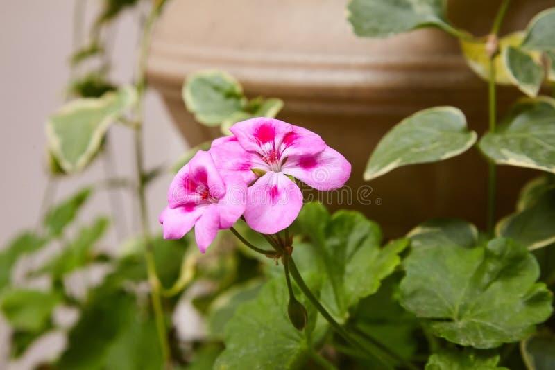 Pelargonium del geranio arriate Plantas de jardín imágenes de archivo libres de regalías