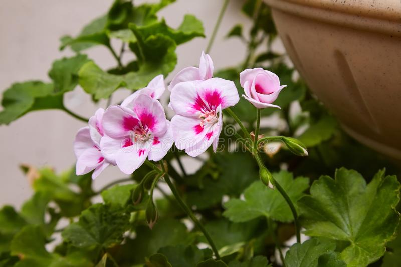 Pelargonium del geranio arriate Plantas de jardín fotografía de archivo