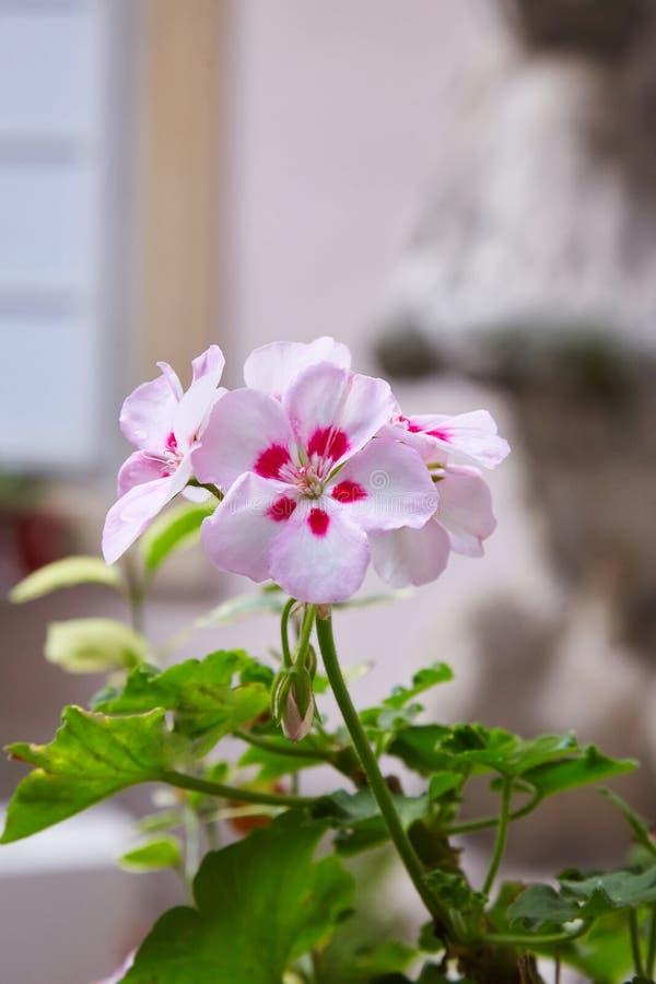 Pelargonium del geranio arriate Plantas de jardín fotografía de archivo libre de regalías