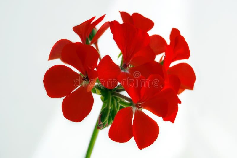 Pelargonium flower head on white background, close-up geranium blossom, selective focus royalty free stock image