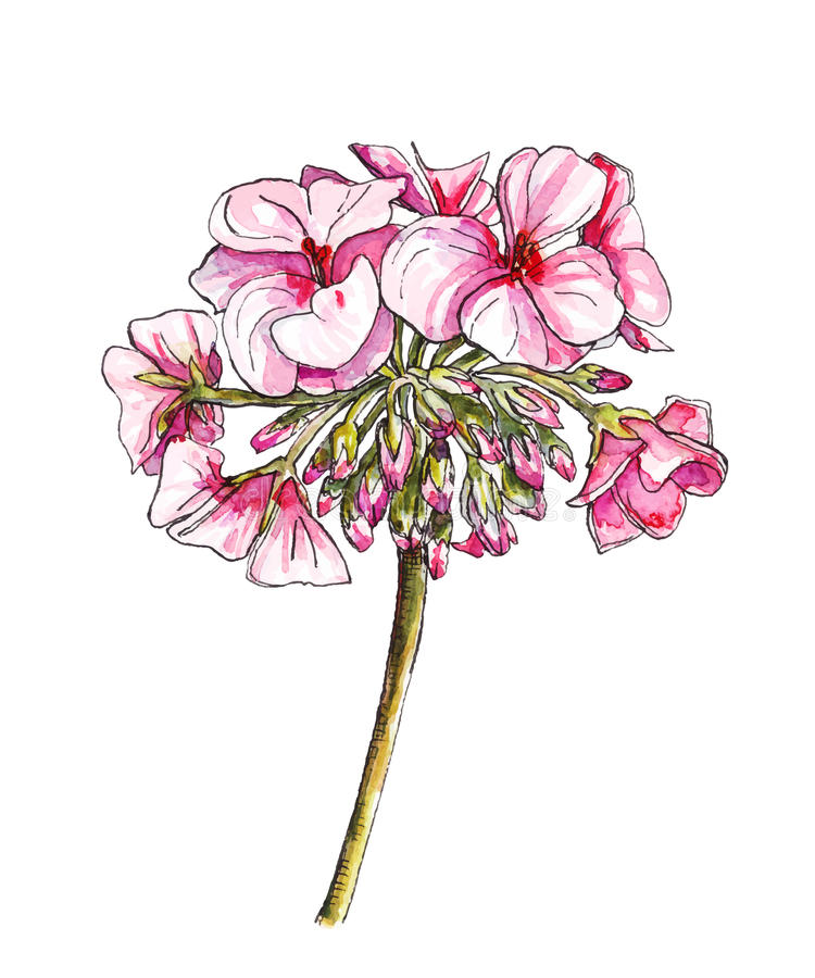 Pelargonium flower in watercolor. Watercolor botanical illustration of pelargonium flower, vector made from my own watercolor painting stock illustration