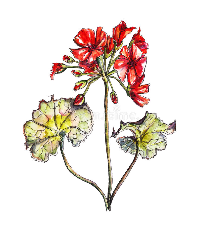 Pelargonium flower in watercolor. Watercolor botanical illustration of pelargonium flower, vector made from my own watercolor painting royalty free illustration