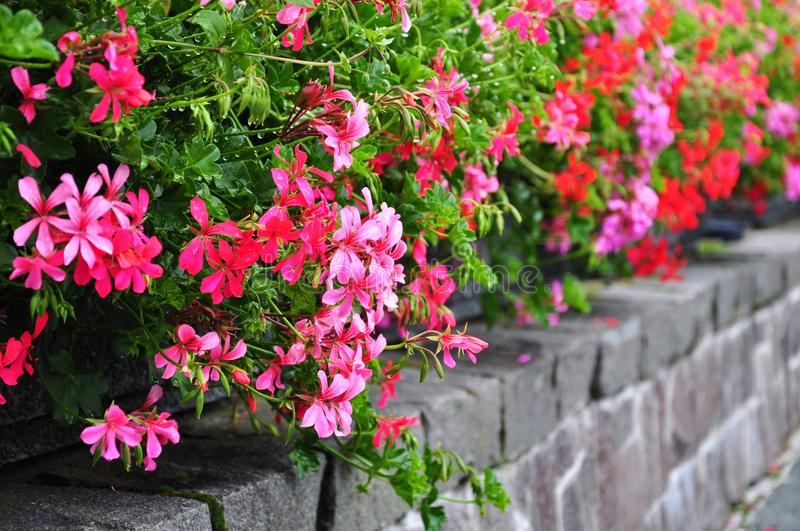 Pelargonium flowerbed obraz stock