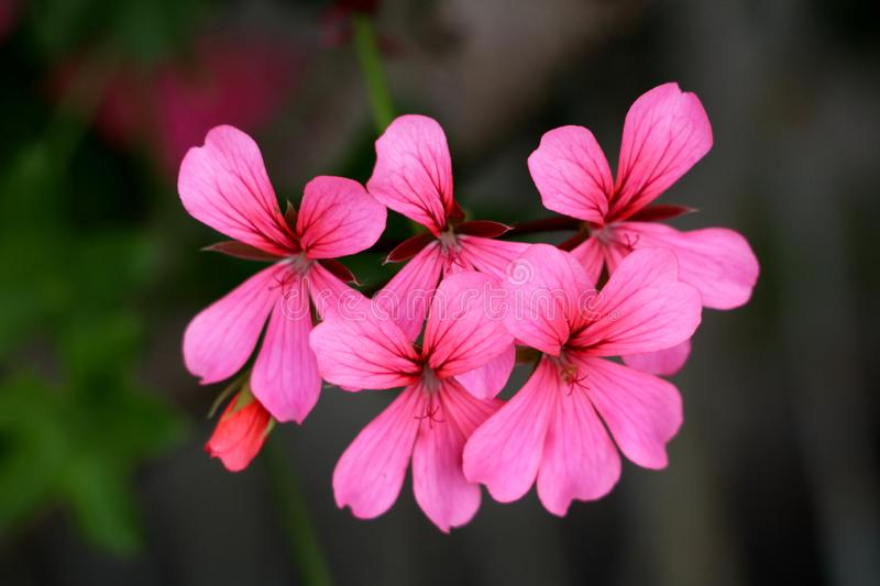 Pelargonium flowers fully open blooming with violet to dark red petals on dark green leaves and other garden vegetation background. On warm sunny day stock photos