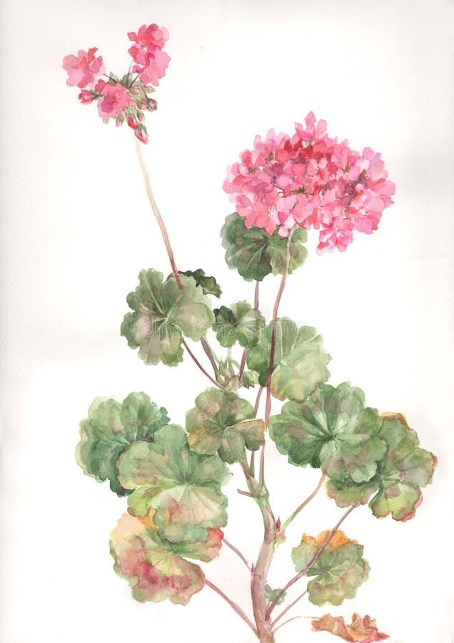 Pelargonium flowers watercolor painting. The hand drawn watercolor of pelargonium flowers stock illustration