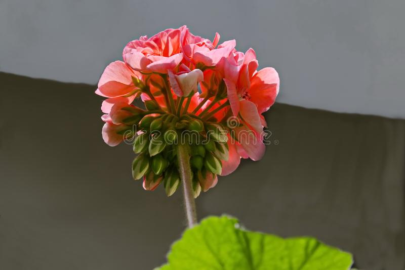 Pelargonium or Geranium flower close look at a cluster of double salmon bloom, buds and green leaves royalty free stock photos