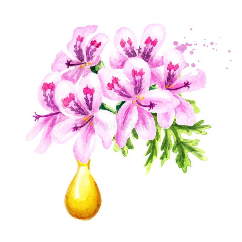 Pelargonium graveolens or Pelargonium x asperum, geranium flower and essential oil drop. Watercolor hand drawn illustration,. Isolated on white background stock illustration