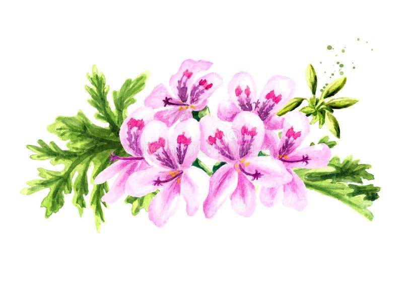 Pelargonium graveolens or Pelargonium x asperum, geranium flower with leaves. Watercolor hand drawn illustration  isolated on. White background stock illustration