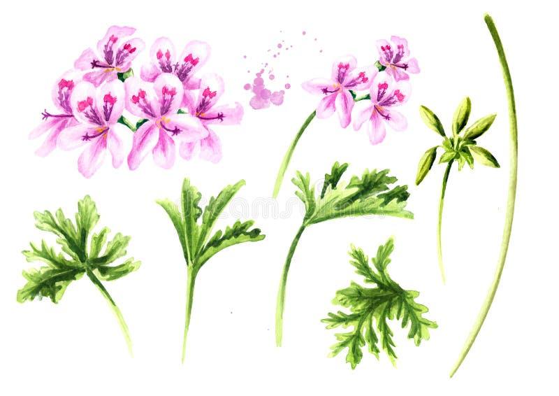 Pelargonium graveolens or Pelargonium x asperum, geranium plant elements set, flowers with leaves. Watercolor hand drawn. Illustration  isolated on white vector illustration