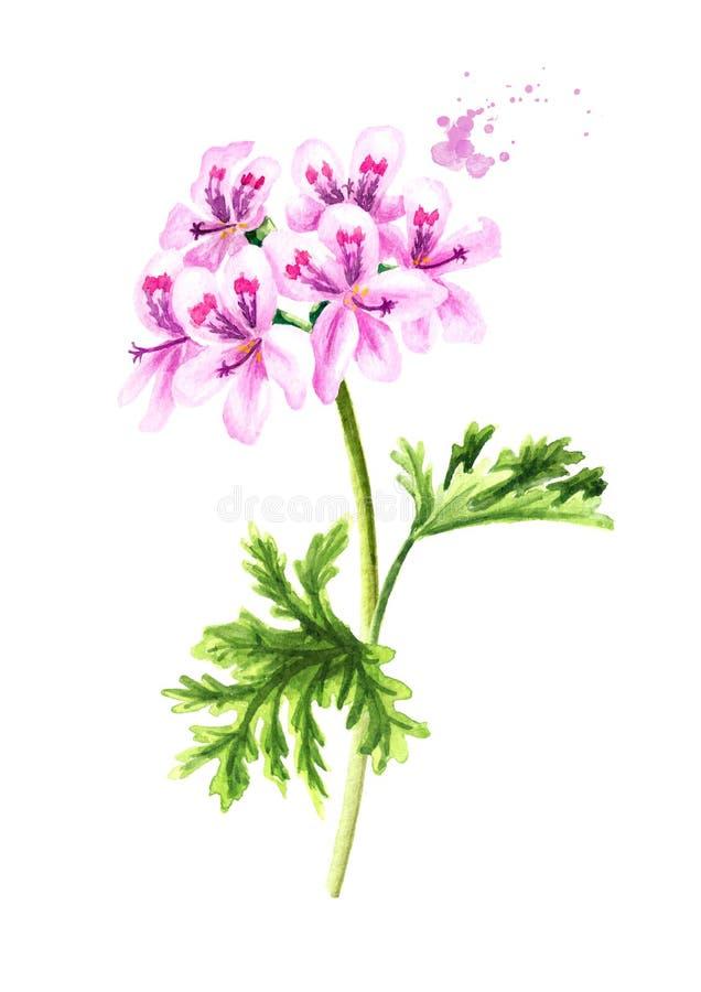 Pelargonium graveolens or Pelargonium x asperum, geranium plant, flower with leaves. Watercolor hand drawn illustration,  isolated. On white background stock illustration