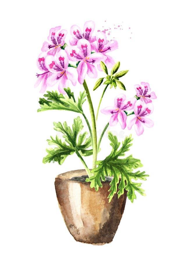 Pelargonium graveolens or Pelargonium x asperum, geranium plant in the flower pot. Watercolor hand drawn illustration, isolated on. White background vector illustration