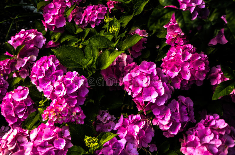 Pelargonium hortorum royalty free stock photos