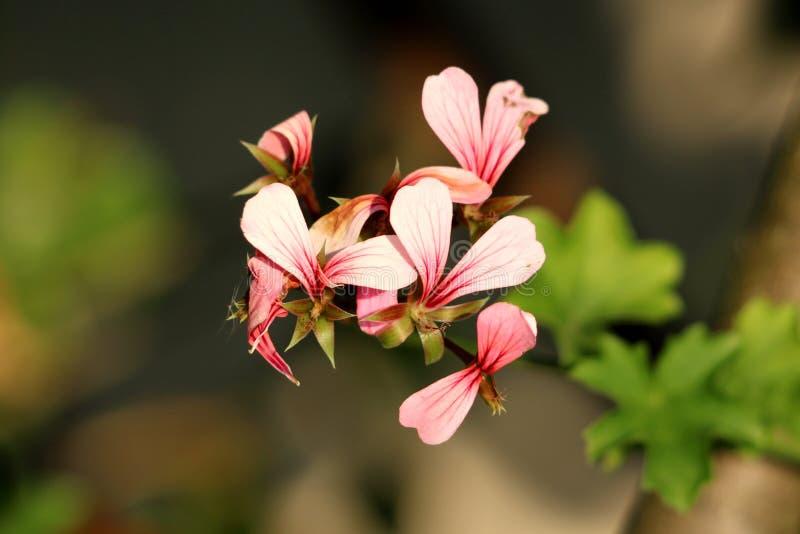 Pelargonium kwitnie z menchiami zmrok - czerwoni płatki już zaczynać więdnąć daleko i powalać zdjęcie royalty free