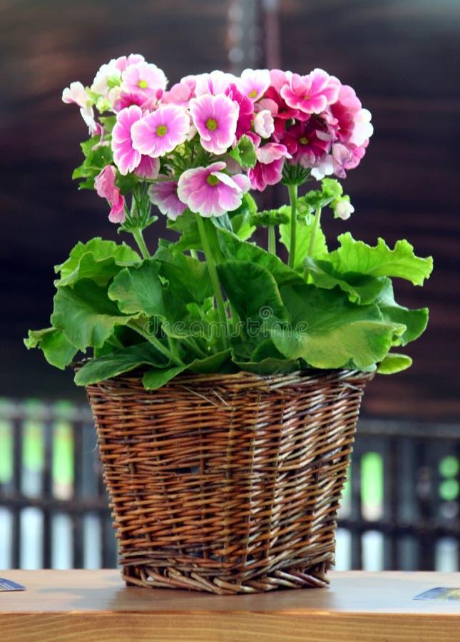 Pelargonium nel POT immagini stock libere da diritti