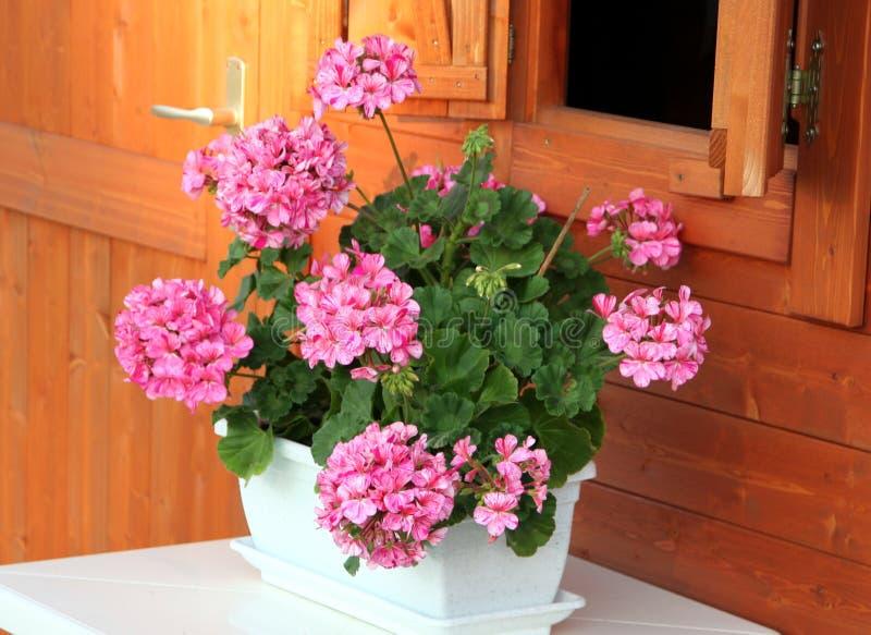 Pelargonium nel POT bianco fotografie stock libere da diritti