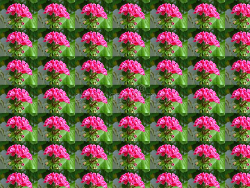 Pelargonium_peltatum Pelargonium peltatum Ivy geranium floral conceito wallpaper com números repetidos ilustração royalty free