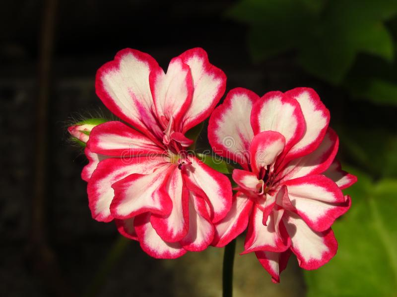 Pelargonium peltatum Ivy geranium. Outdoor garden summer flower with red and white blooms on blurred dark background. royalty free stock image