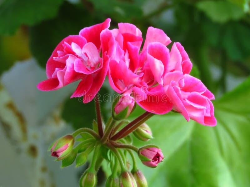 Pelargonium peltatum Ivy geranium. Outdoor garden summer flower with pink blooms and vibrant green leaves. Pelargonium_peltatum. Pelargonium peltatum Ivy royalty free stock image