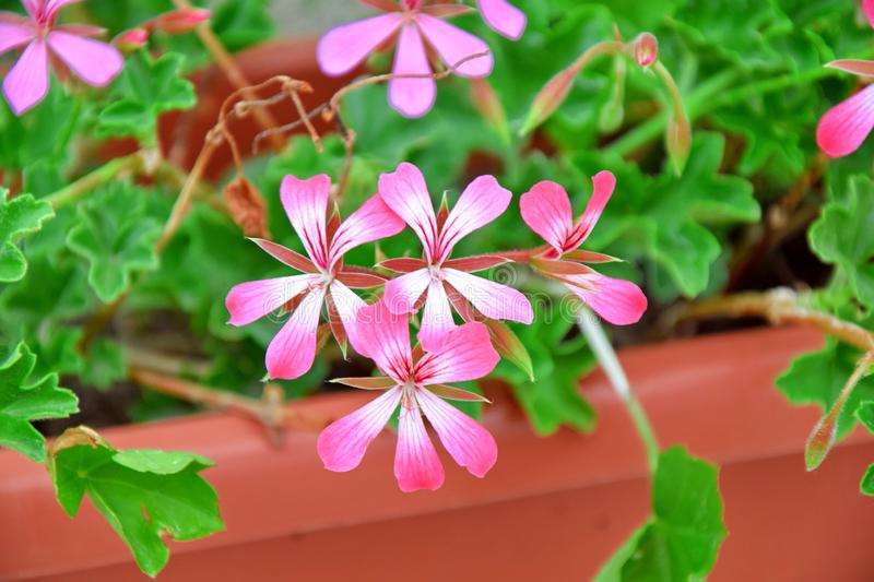 Pelargonium Plant Pink in Flower Bed Box Stock Photo stock image