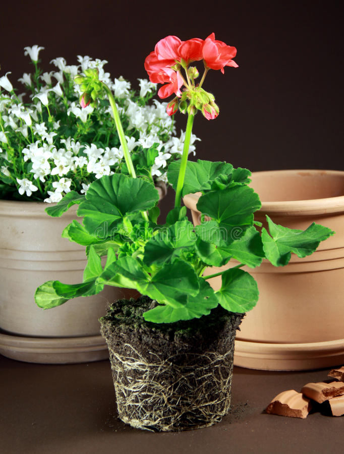 Pelargonium planting. Pelargonium plants with roots and soil ready for planting in to the ceramic pot royalty free stock image