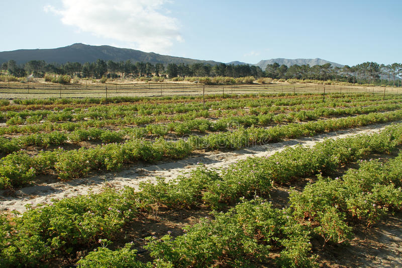 Download Pelargonium Plants On An South African Farm Stock Photo - Image: 21724032