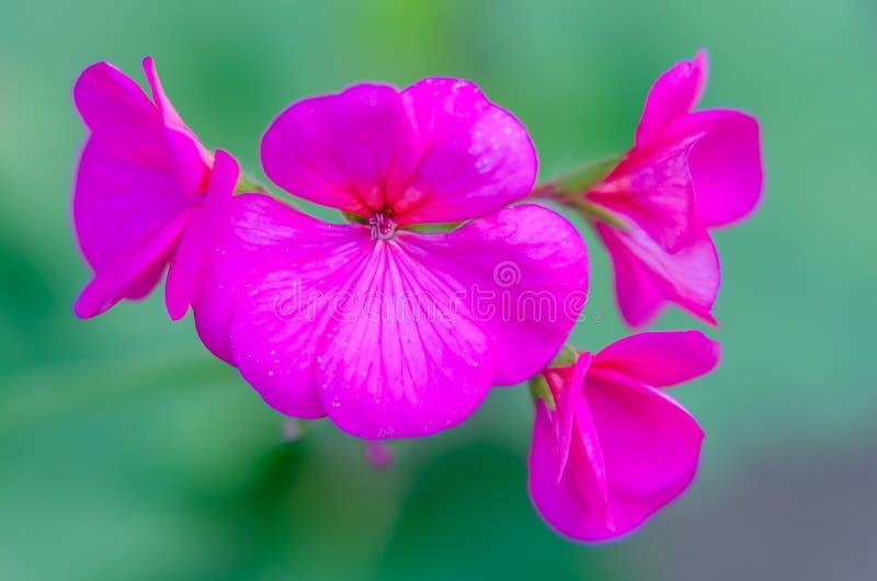 Pelargonium Prinses Irene. In bloom stock photos
