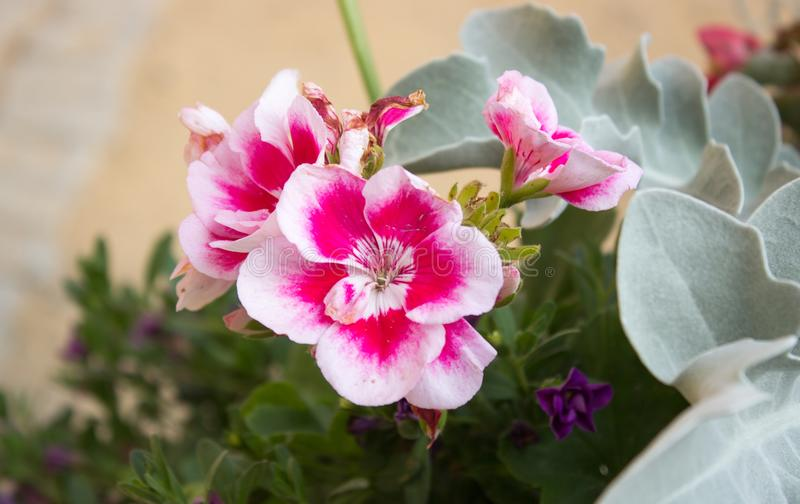 Pelargonium rosado blanco hermoso foto de archivo