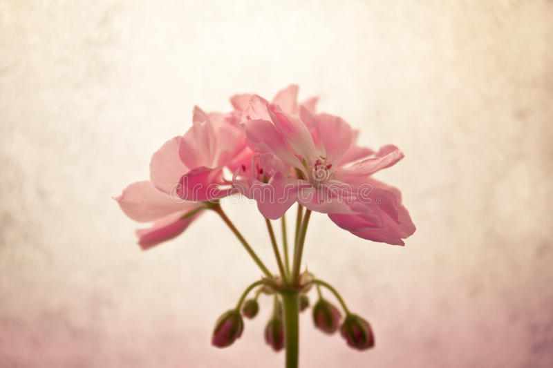 Pelargonium in soft colors. Soft pink pelargonium in bloom stock photography