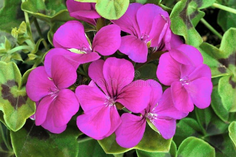 Pelargonium ?ventisca púrpura? foto de archivo libre de regalías