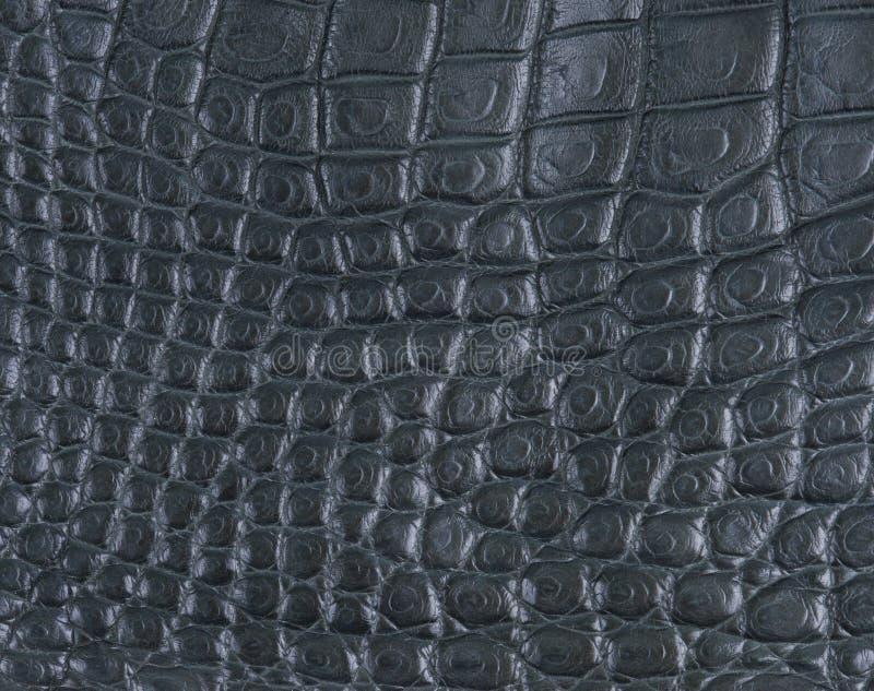 Pele da barriga do crocodilo imagem de stock