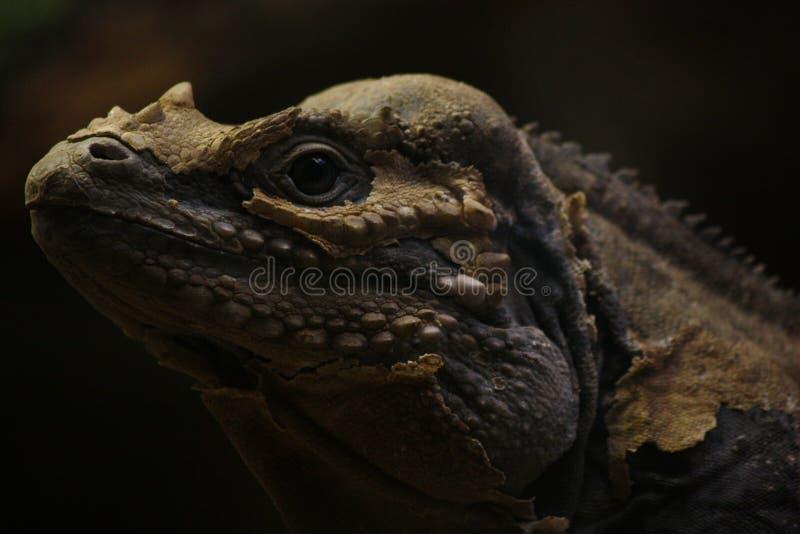 Pele da iguana que derrama o retrato principal imagens de stock royalty free