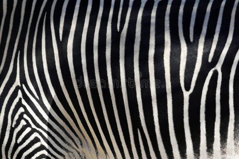 Pele da zebra imagem de stock
