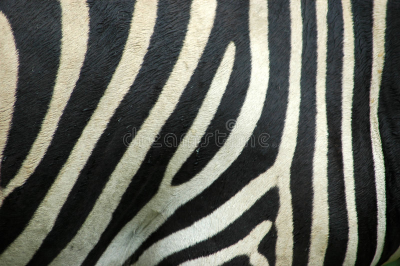 Pele da zebra foto de stock