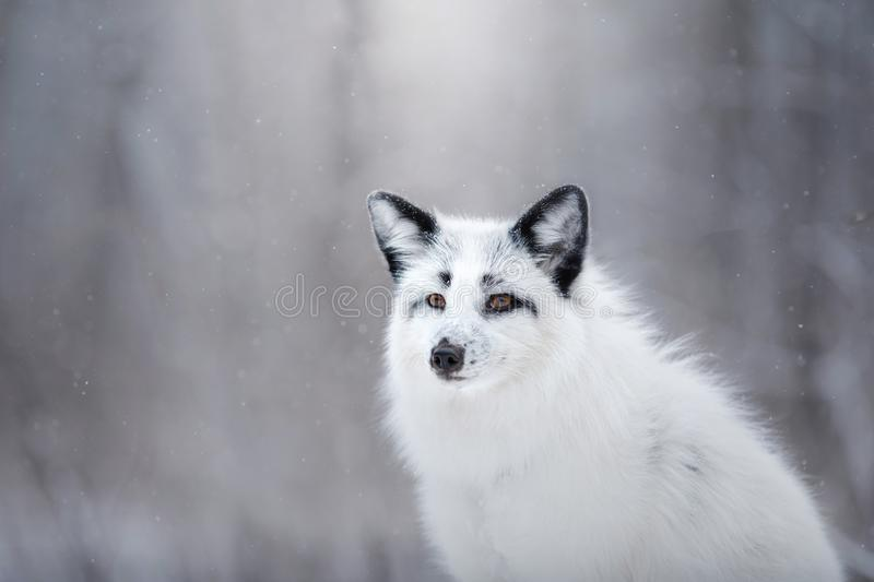 Pele de raposa branca na neve no inverno foto de stock royalty free