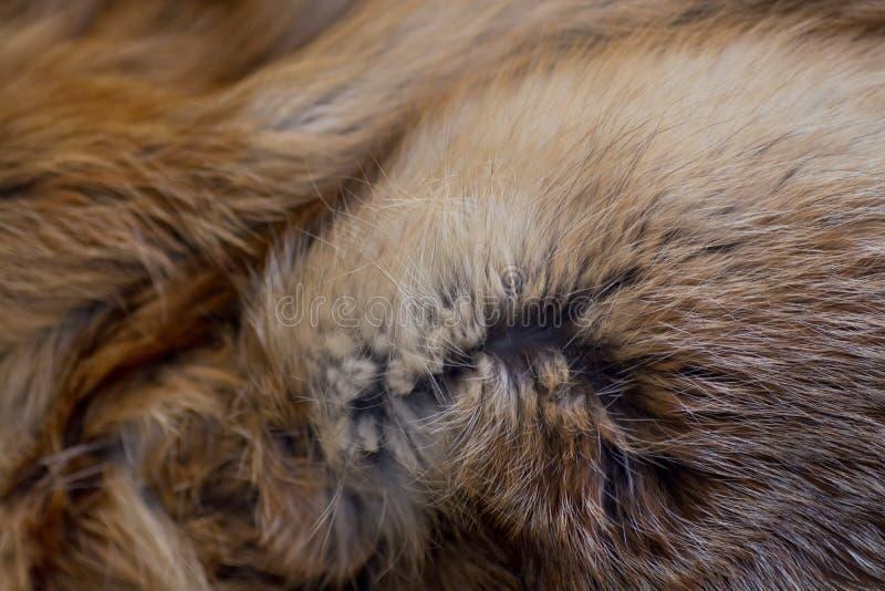 Pele de raposa vermelha elegante e luxuoso fotos de stock royalty free