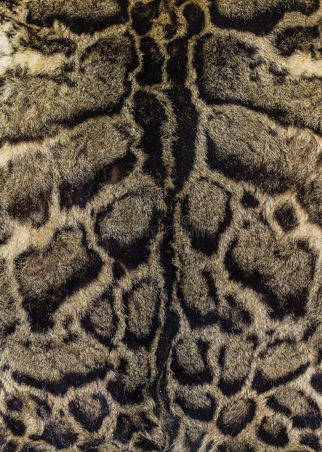 Pele de um leopardo nublado imagens de stock royalty free