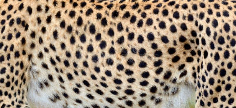 Pele do close-up de uma chita imagens de stock