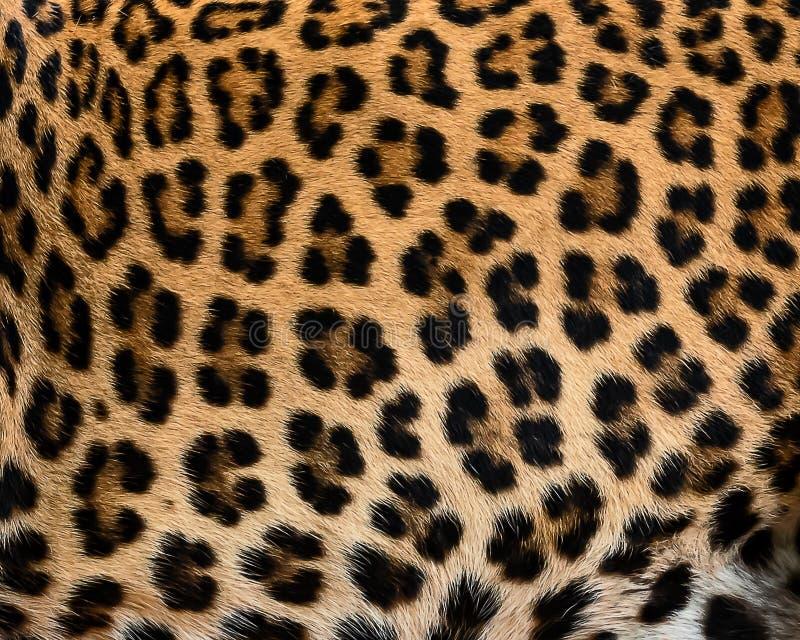 Pele do detalhe do leopardo fotografia de stock royalty free