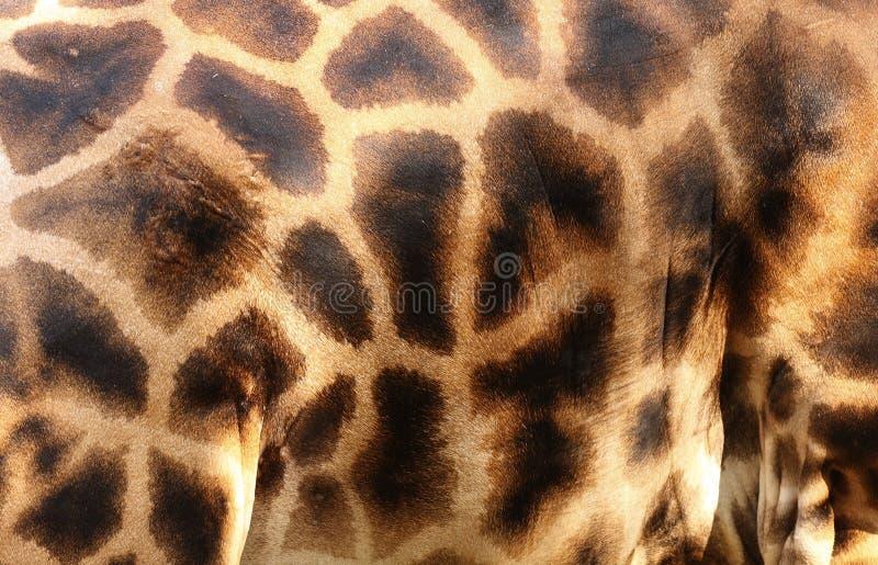 Pele do Giraffe fotografia de stock