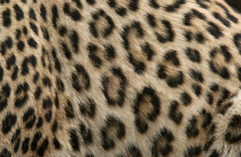 Pele do leopardo foto de stock royalty free