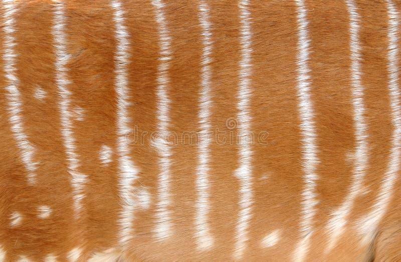 Pele do Nyala imagens de stock