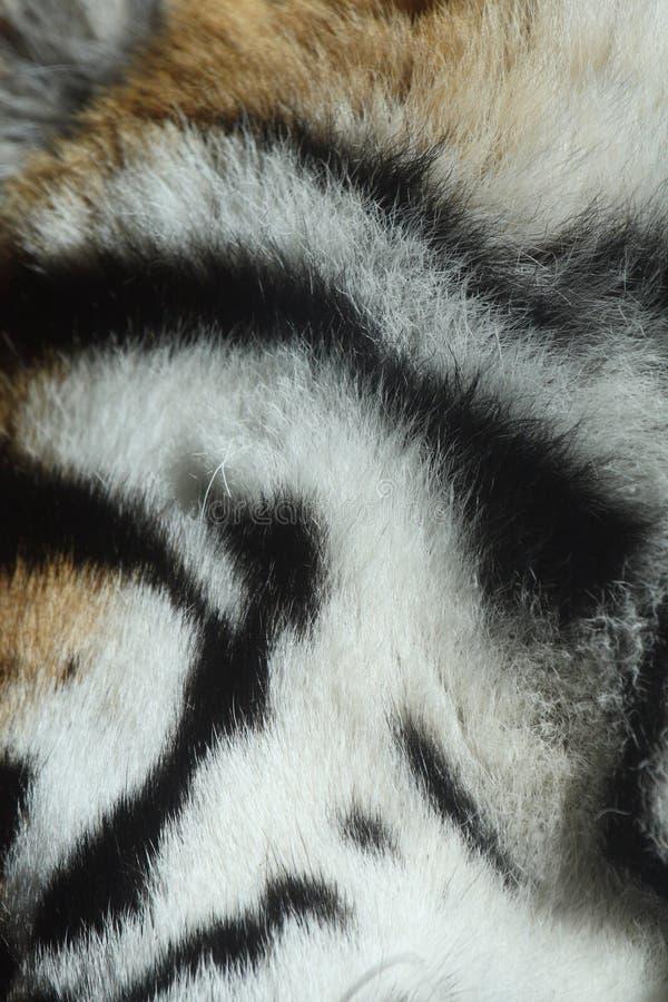 Pele do tigre foto de stock