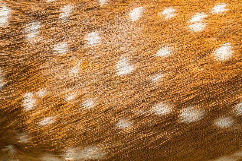 Pele dos cervos da beleza imagem de stock