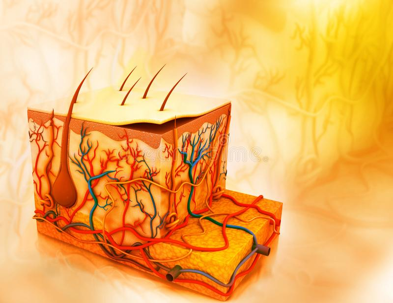 Pele e as camadas ilustração do vetor